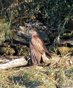 IMG_9146---buzzard-cloaking-its-prey.-JA