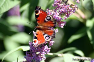 IMG_0041-peacock-butterfly-on-buddleia