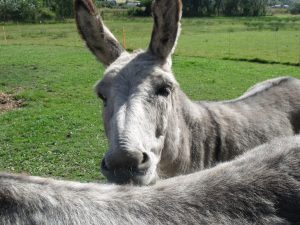 Donkeys for Palm Sunday
